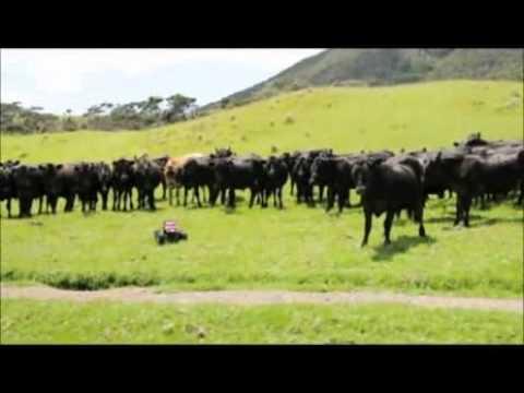ラジコンカーを追いかける牛