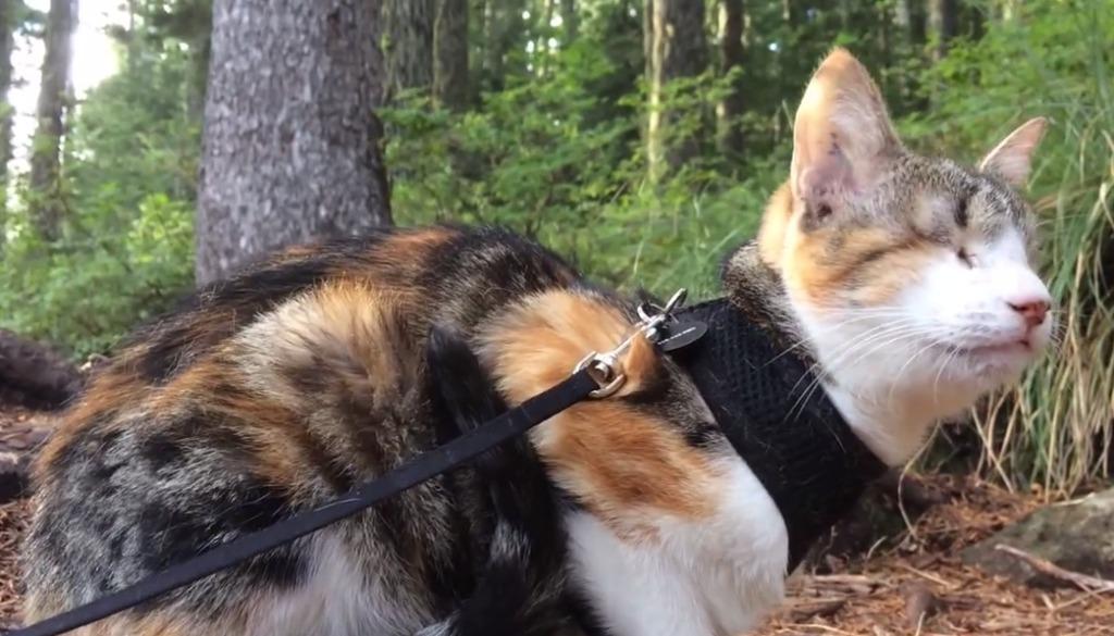 【絆】全盲の猫が飼い主と一緒に森林を歩く。全身で大自然を感じる姿に心洗われる!
