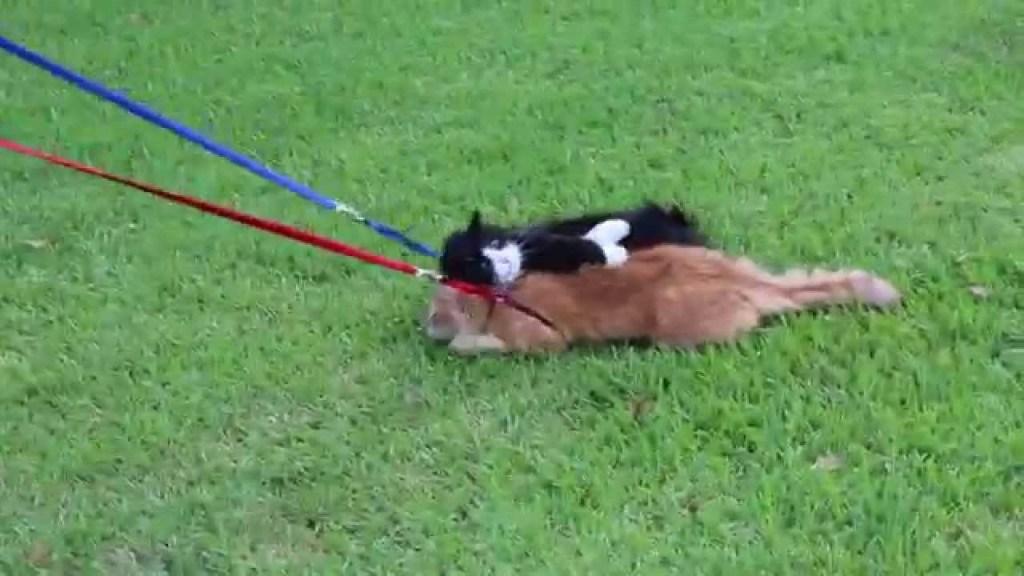 散歩なんかしたくないニャ~・・・ほっといてくれニャ~・・・意地でも散歩しない猫がある意味凄いw