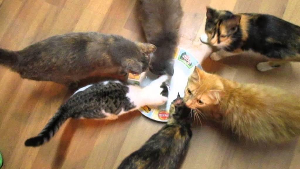 「見えないマグロ」と称して腹ペコの猫達に空っぽのお皿を差し出したらどうなるのか?