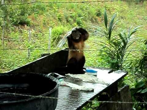 あらよっと一丁上がり!中に人が入っているんじゃないかと疑うほど洗濯が上手いお猿さん