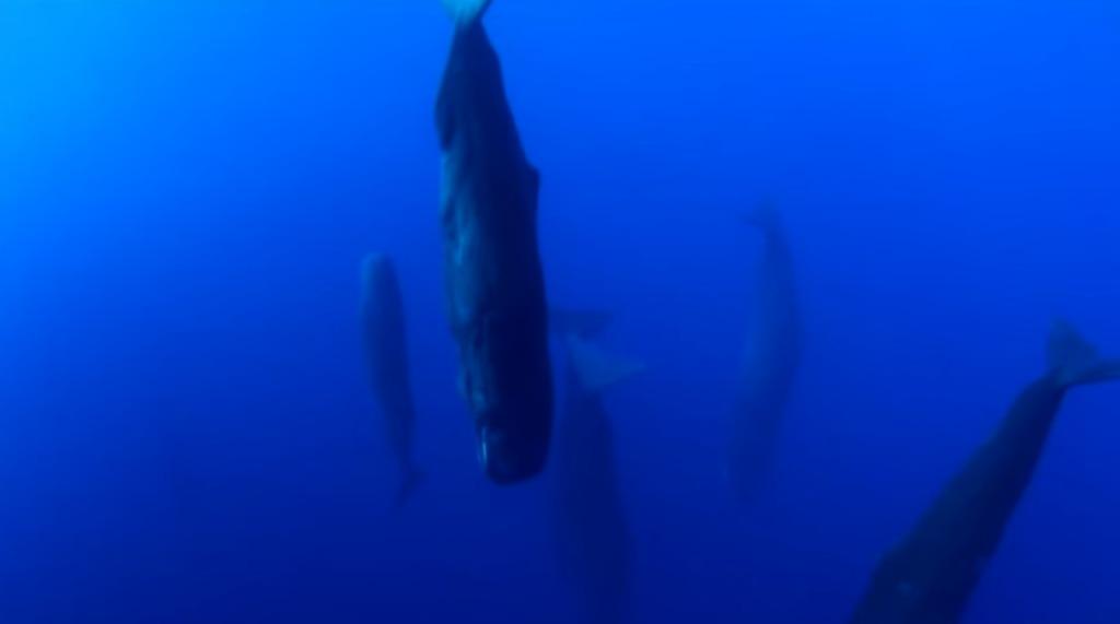 マッコウクジラの睡眠方法がとても神秘的!!!