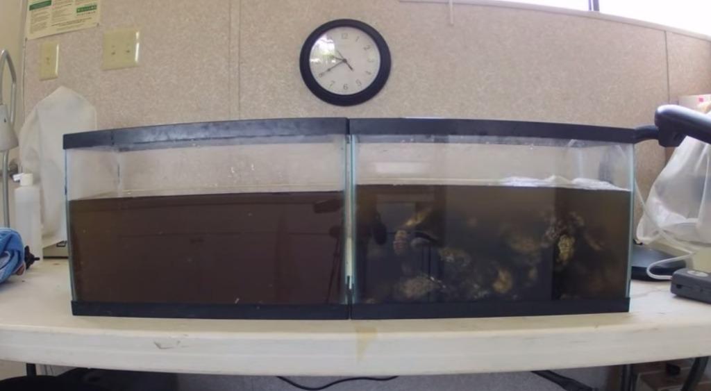 カキの水を浄化する能力がスゴい!濁った水がみるみる綺麗になっていくタイムラプス映像!!