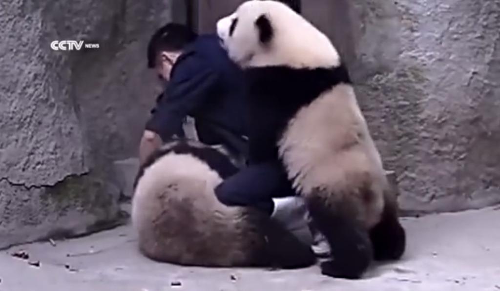 飼育員さんが2匹のパンダに薬を与えようとするも、じゃれつかれてなかなか上手く出来ないwwwwwwww