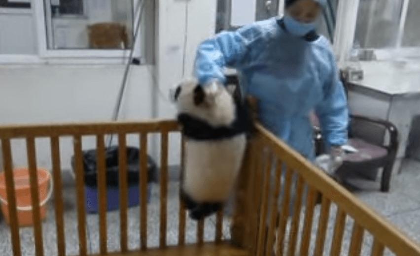 何度も脱走しようとして、何度もオリに戻される子パンダが可愛すぎるwwwwwww