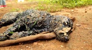 タールの壺に落ちてしまった犬が、全身ベトベトで発見される。この状態でどうやって助かるのか?!