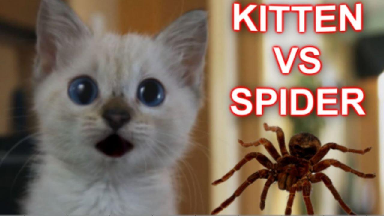 巨大グモと必死になって戦う子猫がカワイイ!