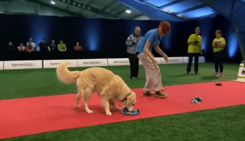 「やったー!おやつがいっぱい!」犬の競技会で、トラップのエサを食い尽くしながら失格になっていく犬wwwwwww