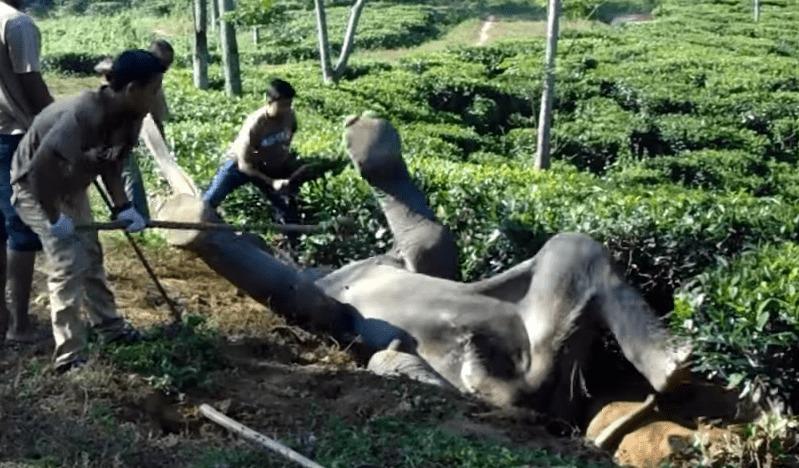 仰向けに穴にハマってしまったゾウを、みんなで力を合わせて救出!!暴れるから大変!