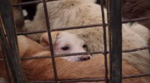 犬はペットではなく食べ物!?中国の「犬肉食」文化を取材!!