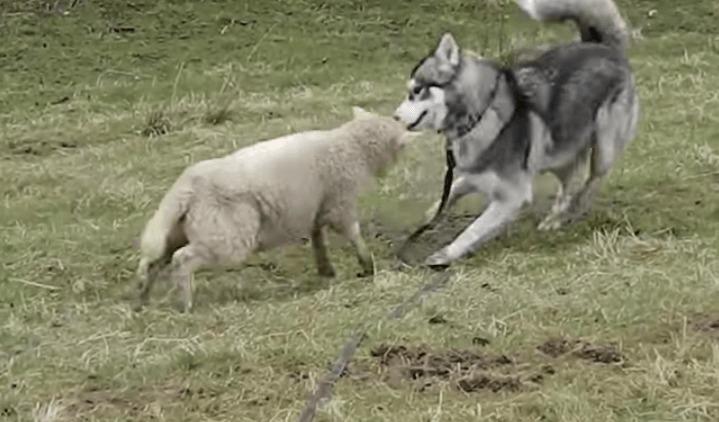 【感動】幼なじみの犬と再会した羊が、群れを離れて全力で走ってきた!歓喜する二匹の姿に感動!!!