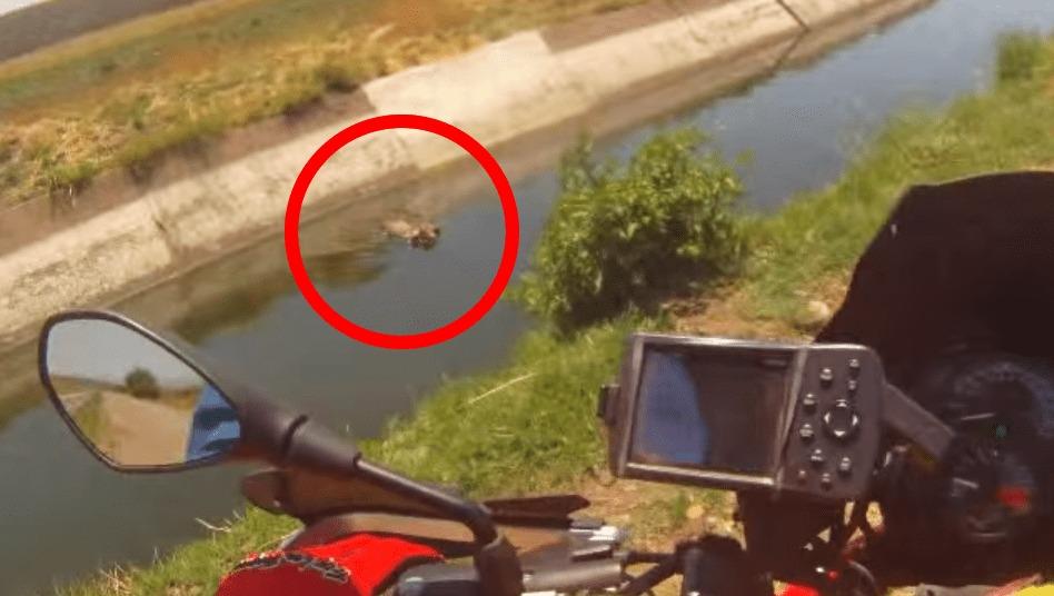 バイクで走っていたら、川に落ちている子牛を発見!ライダーの体を張った救助行動に感動!!