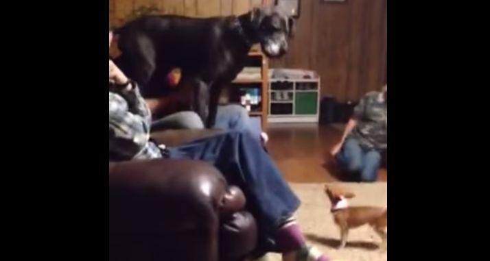 小さなチワワを怖がって、人の膝の上に逃げる大型犬wwwwwwww