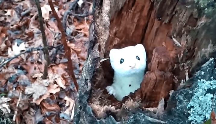 【横綱級の可愛さ!!】森の妖精?木の中からひょっこり顔を出すオコジョ