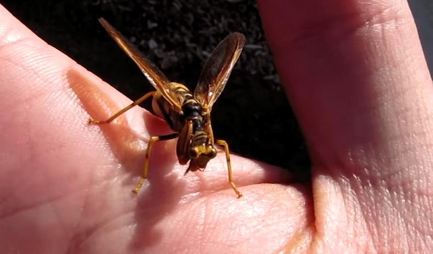 【新種?】見た目は完全にスズメバチ。でもよく見ると。。カマキリ!!