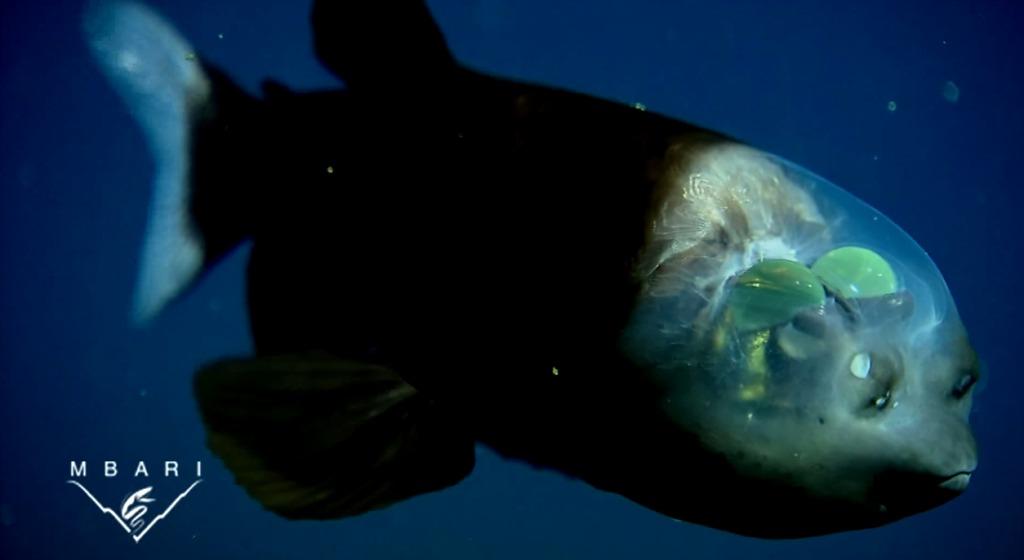 【自然の神秘】頭が透明で中が丸見えな深海魚「デメニギス」の泳ぐ映像!