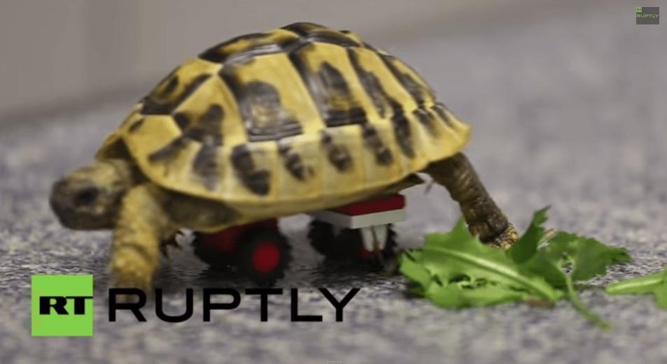 【感動】足が不自由な亀のブレード君。LEGOのタイヤで歩けるように!!!