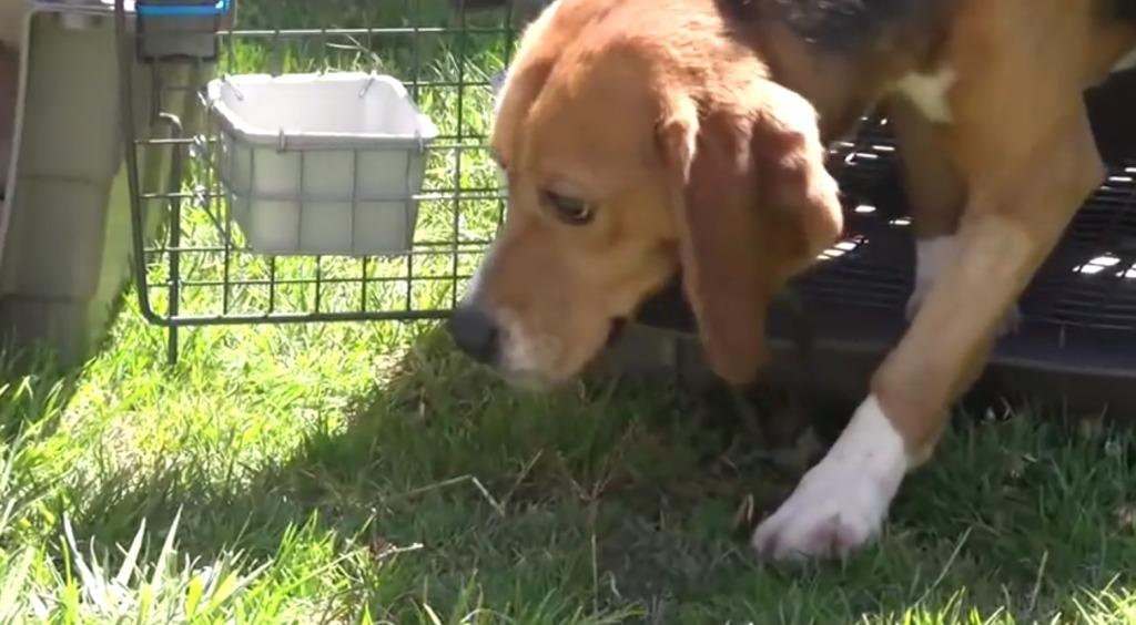 動物実験のために飼育され、生まれてから一度もケージの外に出たことのない犬。保護団体に救助され、初めて大地を踏む姿が胸に突き刺さる。。