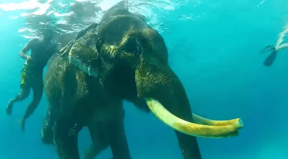 【インド】なんて美しい映像。。「海を泳ぐ象」最後の生き残り
