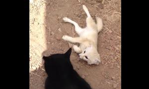 親友の猫との久々の再会に、転げ回りながら全身で喜びを表現するフェレック!!!