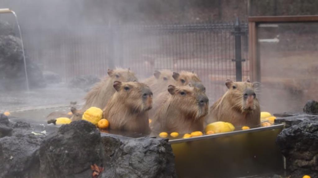 極寒の中露天風呂を満喫するカピバラ達の姿がなんだかとても癒やされる