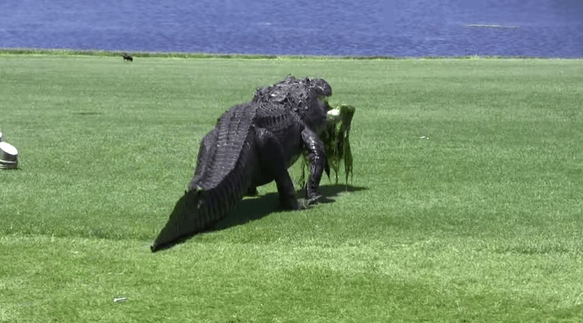 【フロリダ】巨大ワニが平然と散歩するゴルフコースが話題に!!