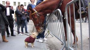小さなフレンチブルドッグが、馬と仲良くなろうと頑張る姿が可愛い!!