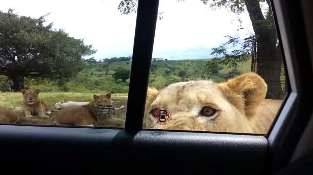 サファリパークでは車のドアロックは必須!ライオンにドアを開けられ危機一髪!!
