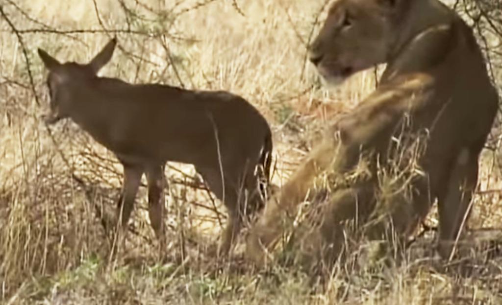 【号泣】優しすぎたメスライオンは、自分が飢えてまでオリックスの赤ちゃんを育てようとした。衝撃の結末に涙が止まらない。。
