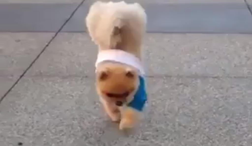 【衝撃】逆立ち歩きがめちゃめちゃ上手な犬!!