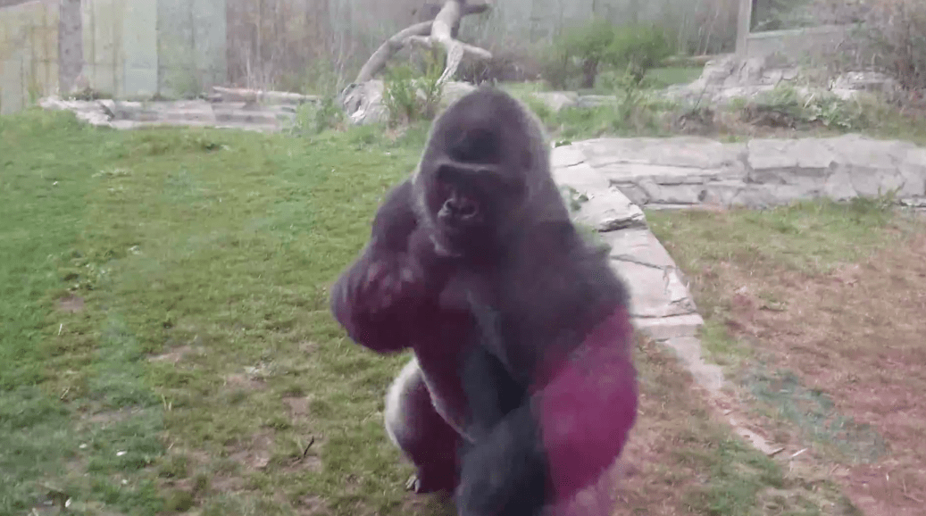 怒ったゴリラがガラスに体当たりでヒビ割れ!動物園も想定外の攻撃力に驚き!!