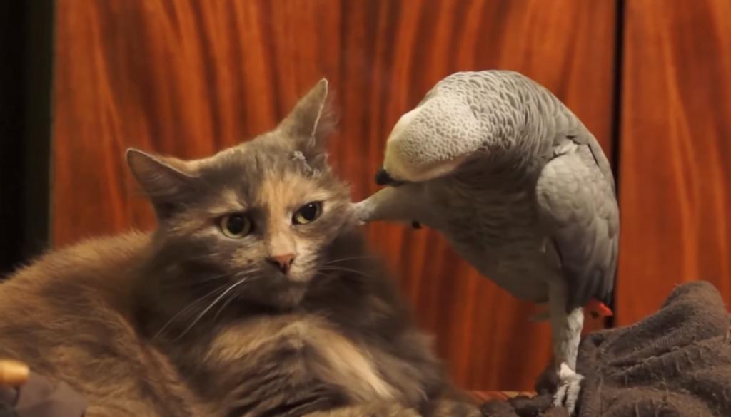 【爆笑】足で顔面を踏みつけてガン付けるインコと、それにイライラする猫wwwwwww