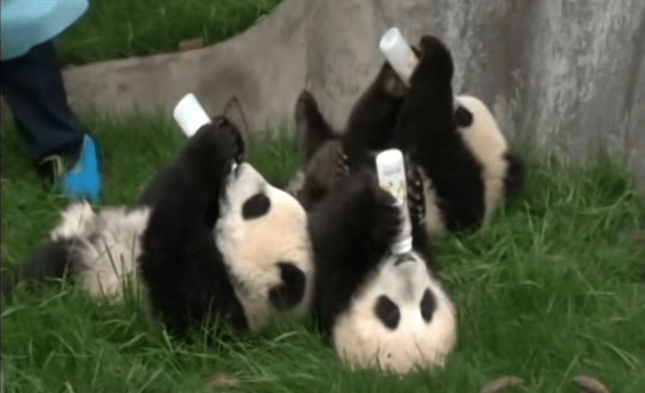 なにこれw パンダの赤ちゃんへの授乳風景にめちゃ癒やされるwwwww