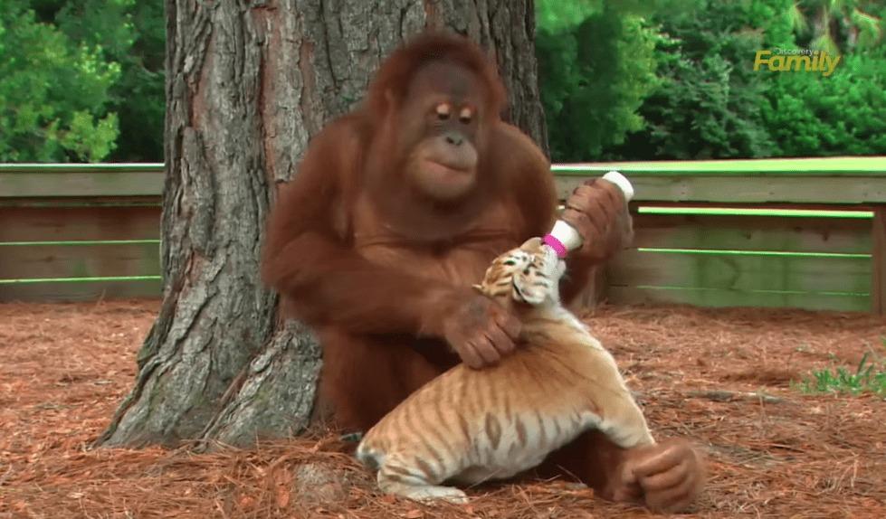 愛情いっぱい!飼育係の真似をしてトラの赤ちゃんたちの世話をはじめたオランウータン!!