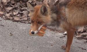 【爆笑】野生のキツネにパンとハムをあげた結果「サンドイッチ」が出来たwwwwwwww