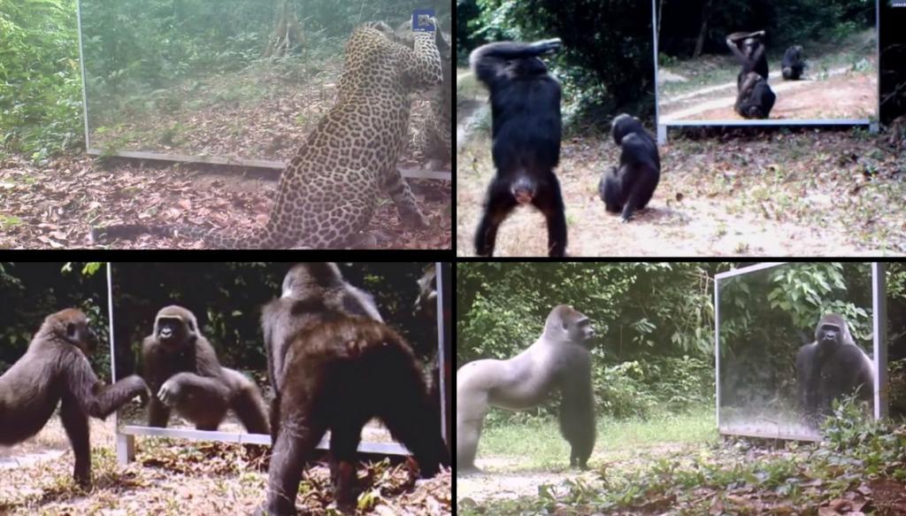 はじめて鏡を見た野生動物たちの反応が興味深い!ジャングルに大きな鏡を置いてみた!