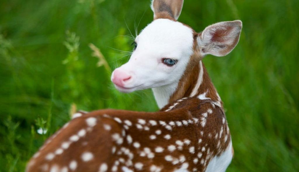 白い顔と青い目で生まれた子鹿。その容姿から母親に捨てられるも、人間に引き取られて農園のアイドルに!!