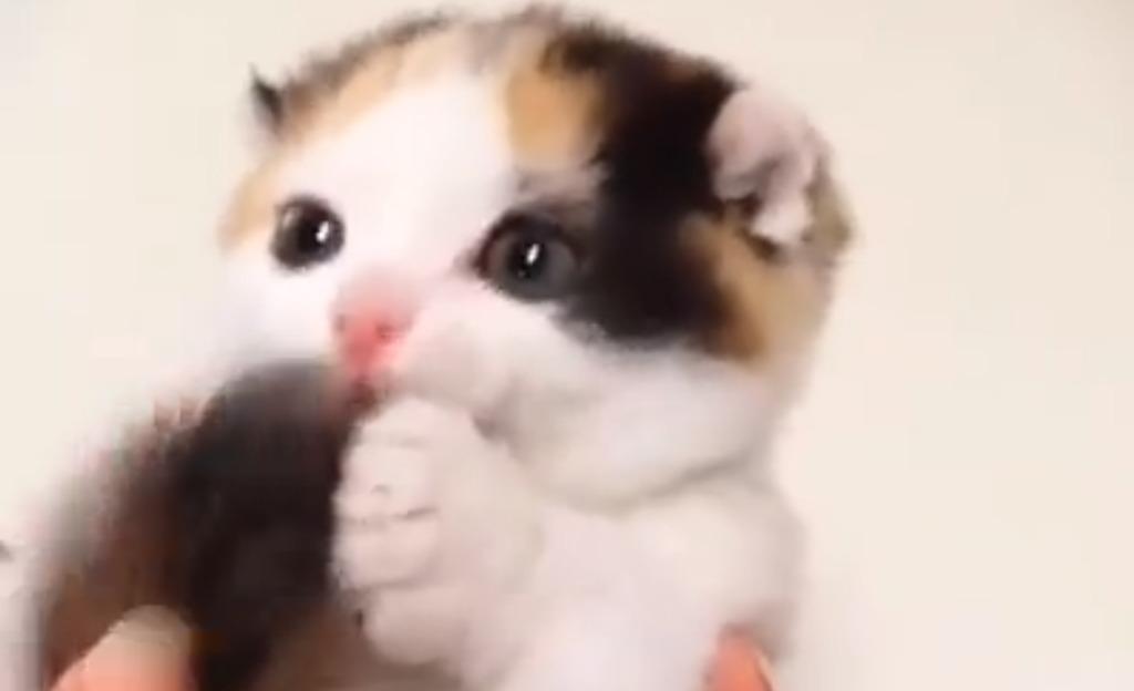 萌え死注意!しっぽを口元に持って行くと、両手で挟んでハムハムする子猫が可愛すぎる!!!