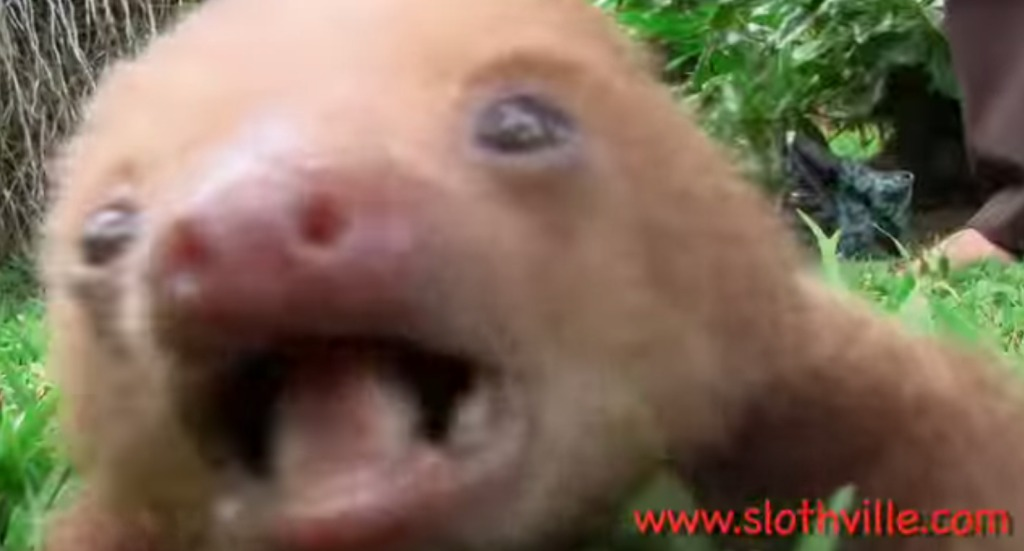 ナマケモノの赤ちゃんの声って聞いたことある?とってもカワイイことが判明!!