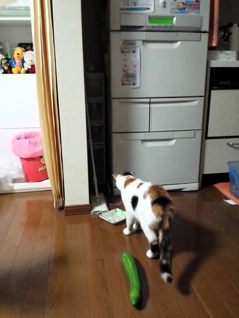 ご飯を食べてるときに「きゅうり」にビビる猫ワロタ!