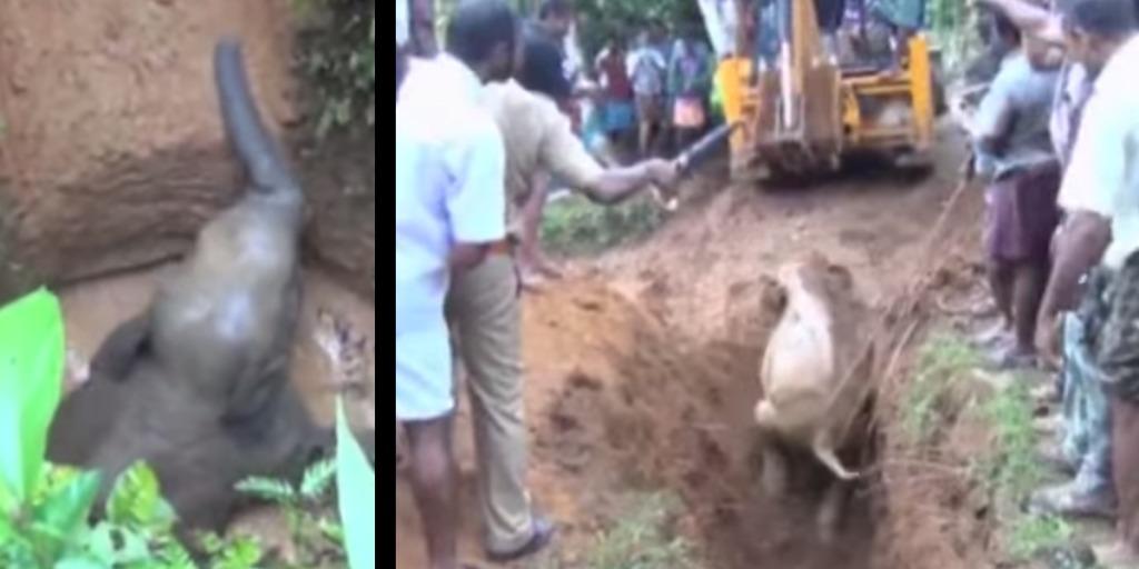 穴に落ちた子ゾウを救うため、1台のショベルカーと数百人の人々が集まった!!