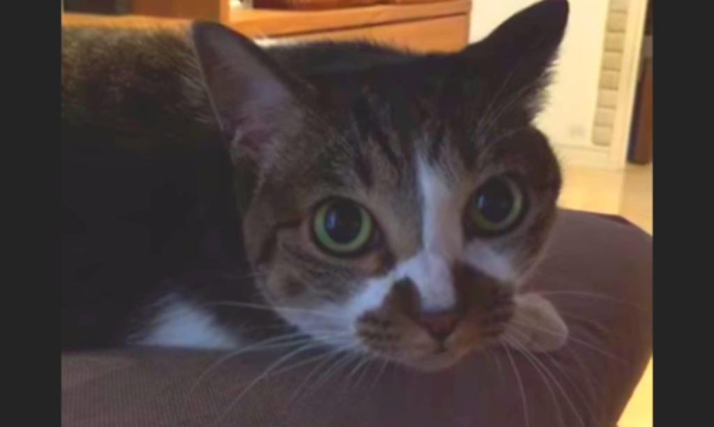 ついにしゃべる猫出現!はっきりとした口調で「ゴハン」と言う猫!!