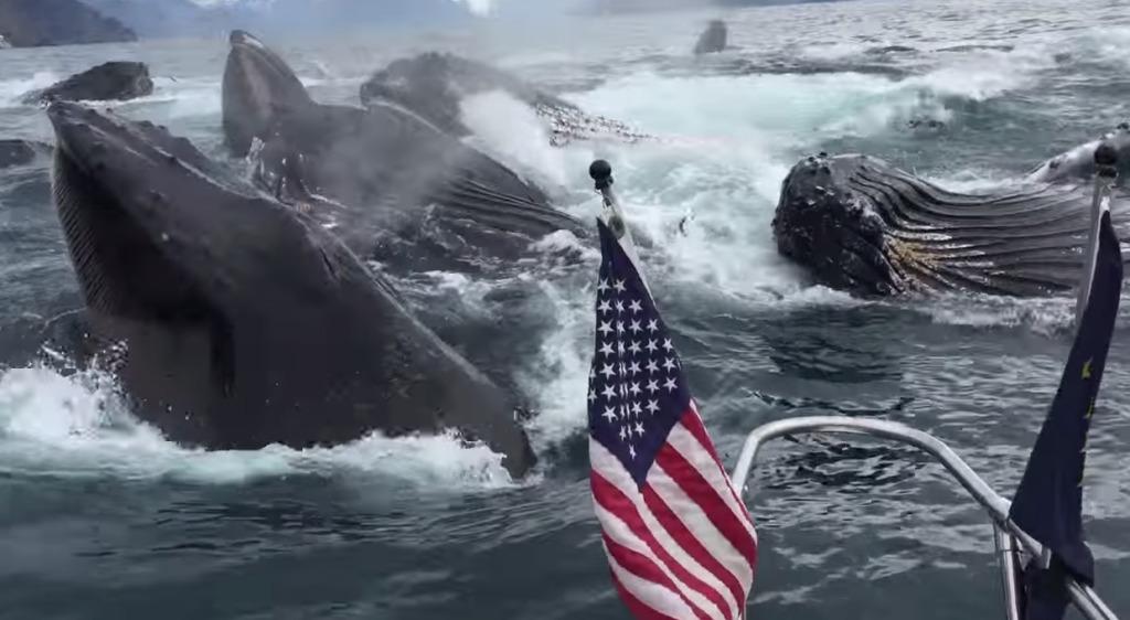 ザトウクジラの最大級の群れのお食事シーンが大迫力!自然のでっかさを感じずにはいられない!!