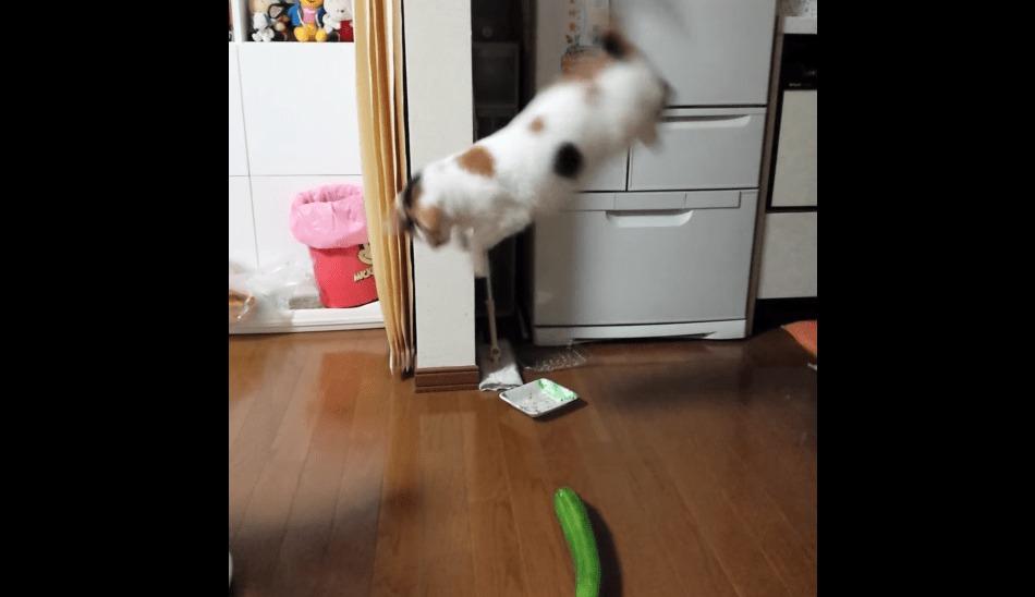 ただのキュウリにめちゃめちゃビックリする猫wwwwwwww