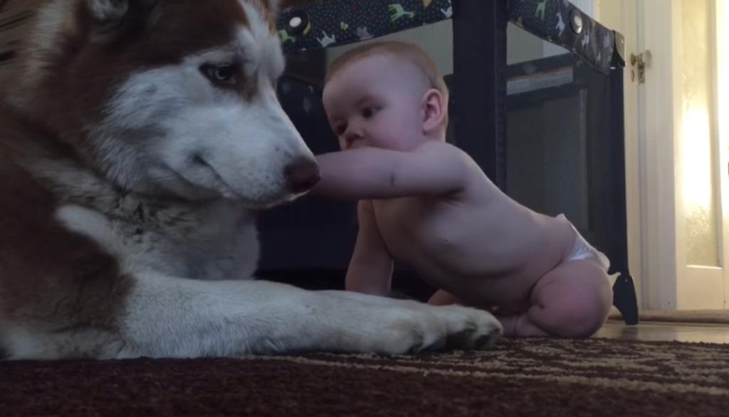 触りたいけど手が届かない赤ちゃん。優しさ溢れるハスキー犬の行動にほっこり♪