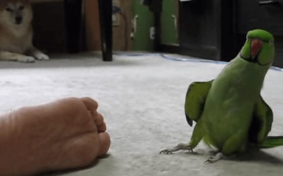 足の臭いを嗅いでは「くっさ〜」な反応をするインコwwwwwwww
