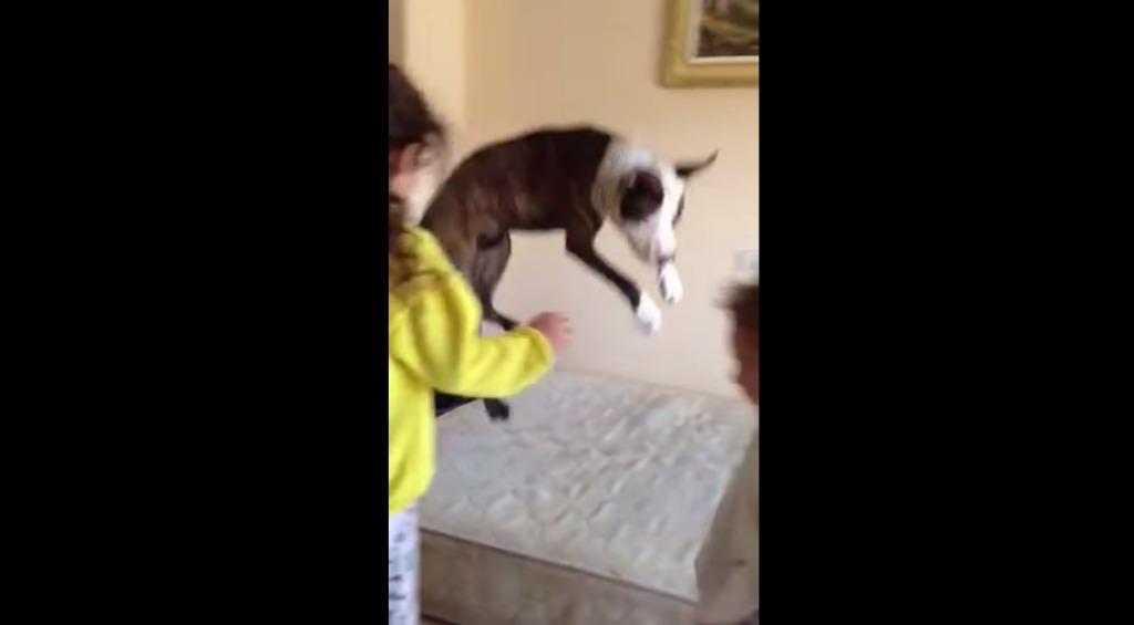 ベッドでジャンプする子どもを見てた犬が、マネしてぴょんぴょん!!