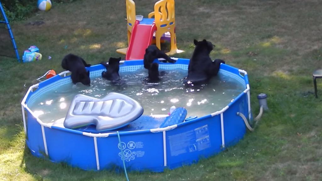 庭のプールに母熊と5匹の子熊が!楽しそうに遊んでる♪