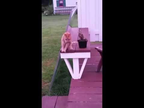 ご主人が呼ぶと人間みたいな座り方をする猫