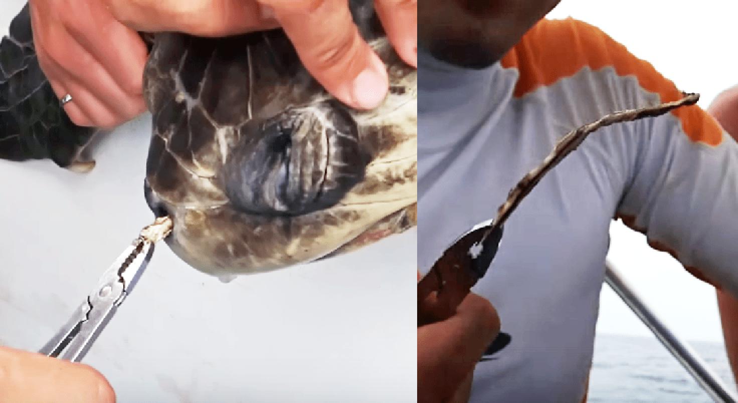海にゴミを捨ててはいけない。。長年ストローが鼻に刺さっていたウミガメが学生たちに救出される!!